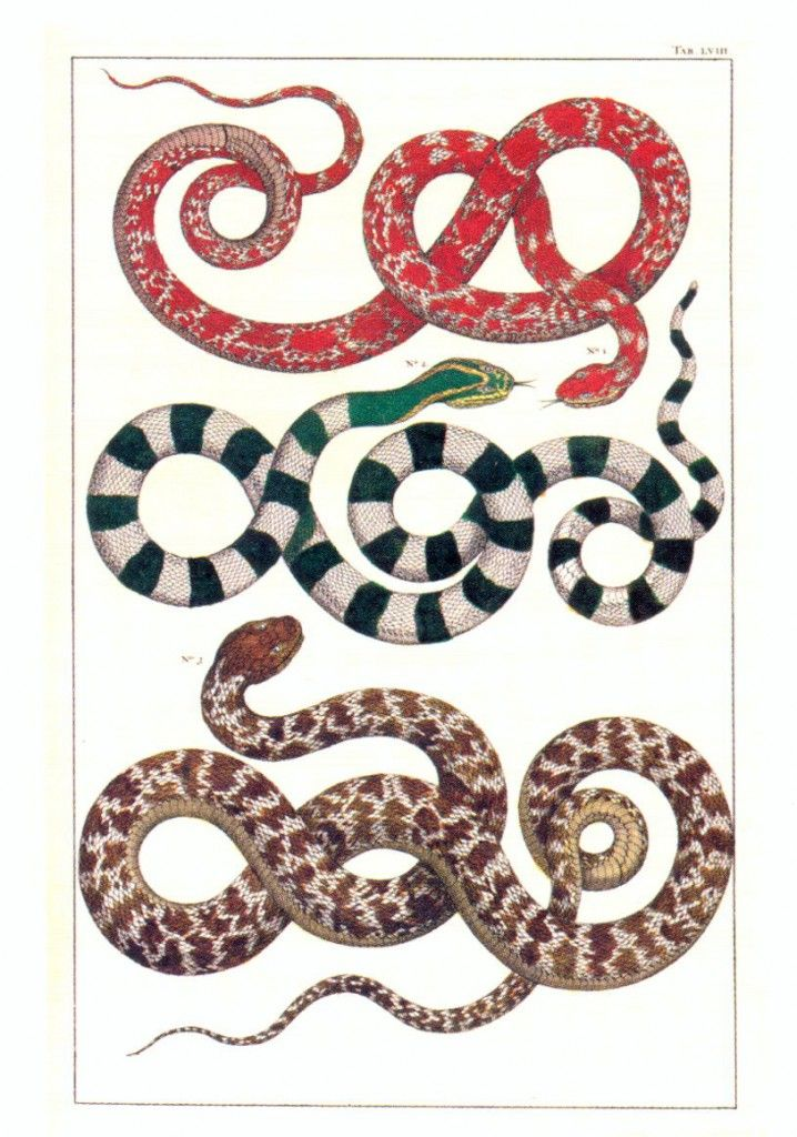 """Albertus Seba snake illustration from his """"Cabinet of Natural Curiosities"""" - a book to be coveted for sure!"""