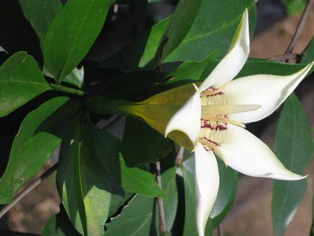 Rothmannia Fischeri           Woodland/Rhodesian Gardenia     Rhodesiese -Valskatjiepiering       4-7 m  (15)          S A no 694            Equatorial Exotics