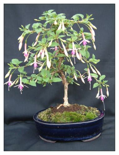 Bonsai Garden - Home Of Fuchsia Bonsai By Kath Van Hanegem                                                                                                                                                                                 More