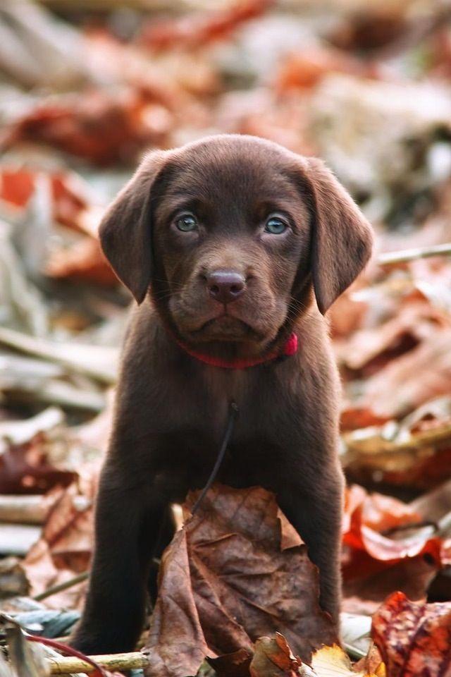 Beautiful chocolate lab puppy