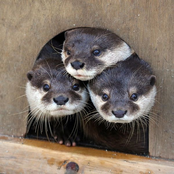 Otters Are Curious to See Who's at the Door