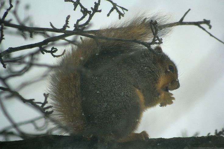 Squirrel in the winter.