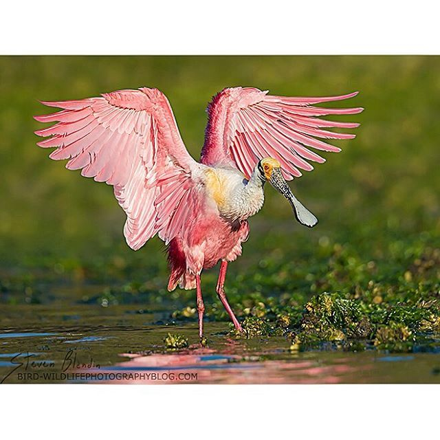 Roseate Spoonbill • bird-wildlifephotographyblog.com => follow the blog and…