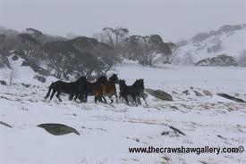 Horses in the Australian Alps