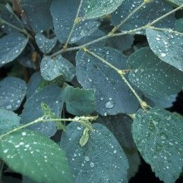 HÄXAL 'BLUE SHADOW'  (Fothergilla intermedia 'Blue Shadow') En nyhet som är speciell med sina intensivt gråblå blad. Vita honungsdoftande, flaskborstliknande blommor i april-maj. Upprättväxande, tät medelstor buske. Fantastisk höstfärg i rött, orange och gult. Trivs på lite fuktiga jordar med lågt pH. Höjd 120-150 cm. Lev.storlek 30-40 cm i kruka. SOL-HSK. Zon 1-4.  (2015)
