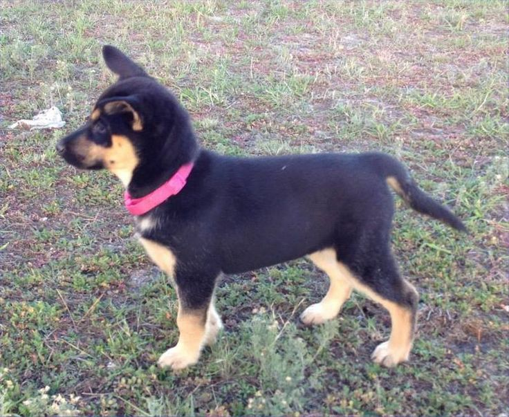 Amy - German Shepherd & Husky mix | [ Puppies ] | Pinterest | Husky ...