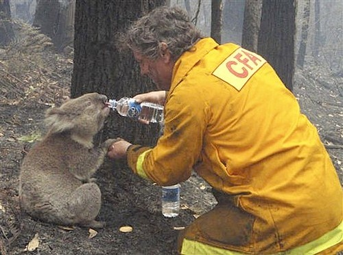 This iconic image of a volunteer firefighter giving a koala a drink after the devastating Black Saturday bush fire. Bush fire is a constant risk in Australia due to the oil in the ecalyptus tree.