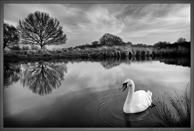 Swan in Richmond Park (BW version): Fotky Bw, Park Bw, Oistein Thomassen, Photo Net, Photographer Oistein