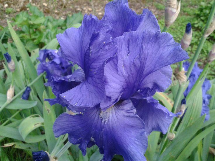 Fleur/Iris/Jardin