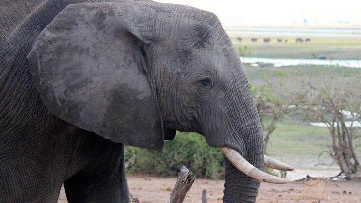 Se asesinan más elefantes al año en África de los quenacen
