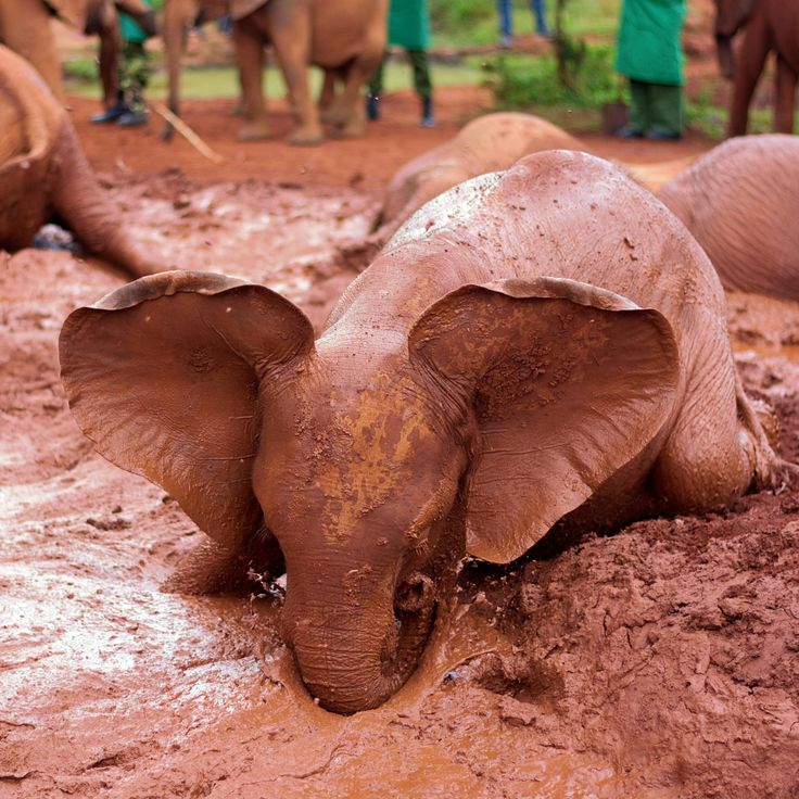 Rescued baby elephant in David Sheldrick Elephant Orphanage Kenya! http://ift.tt/2tlu5jz