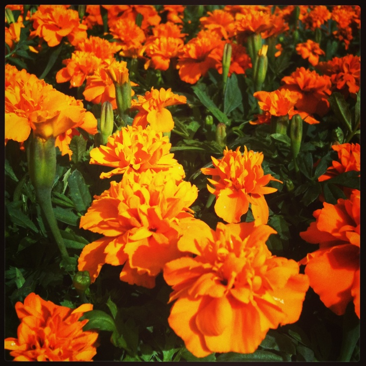 Marigolds in my favorite color.