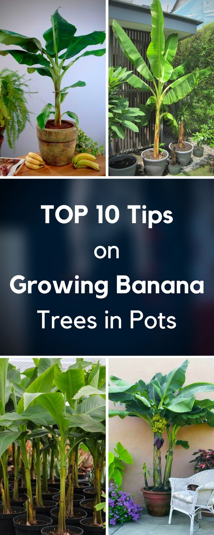 String of banana plant care - Top 10 Tips On Growing Banana Trees In Pots