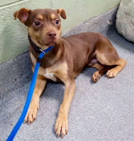 SUPER URGENT **PUPPY** SUPER SCARED- DR DAHLIA. A1100535. I am a male brown and tan chihuahua sh and min pinscher mix. I am about 9 MONTHS old. STRAY