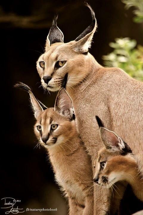 Caracal family