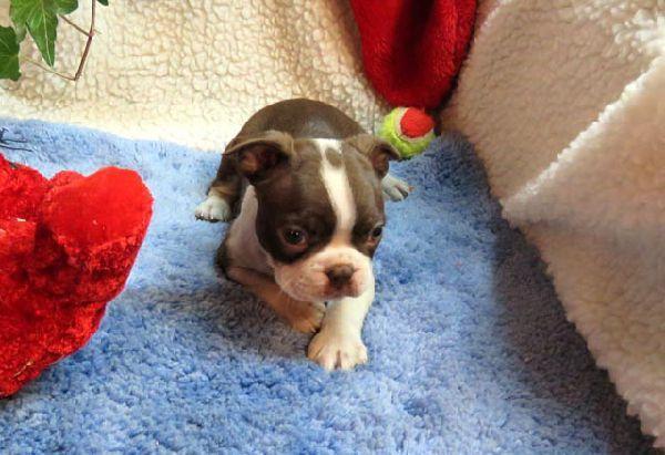 Boston Terrier Puppy Breeders For Sale Near Me Buy Boston