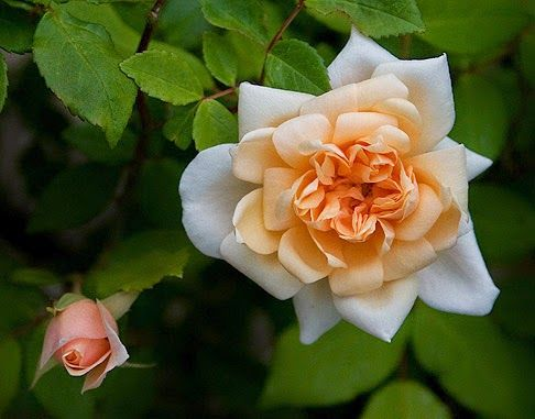 """Vecchie rose 8° e 9° gruppo: """"Rose Polyantha nane""""..."""