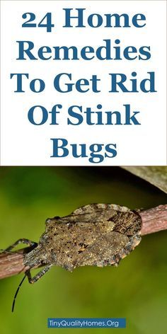 24 Home Remedies And Repellents To Get Rid Of Stink Bugs: This Guide Shares Insights On The Following; Black Bug That Smells When Killed, How To Get Rid Of Stick Bugs, How To Get Rid Of Pentatomidae, Where Do Stick Bugs Come From, Where Do Stick Bugs Live, What Does A Kissing Bug Look Like, Pictures Of Stick Bugs, Brown Shield Bug, Etc.