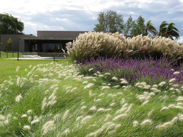Pennisetum villosum en primer plano detr s salvia for Outdoor ornamental grasses
