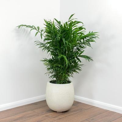 Chamaedorea elegans - Parlour Palm & Balloon Plant Pot - White Concrete