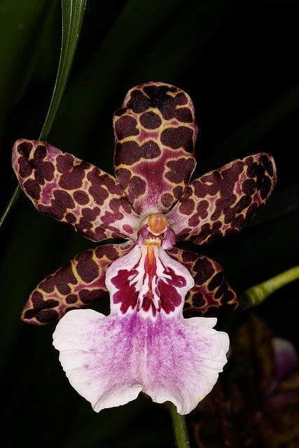 17 Best Images About Miltonia Miltoniopsis Miltassia On