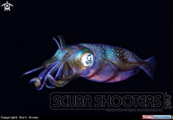 Squid in Maluku - Indonesia