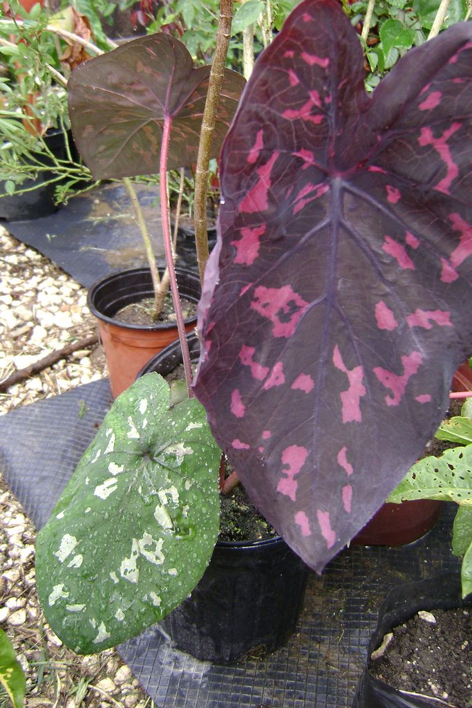This is a thailand caladium that i saw at the show I had to have it for my collect and the more exciting news is that the thai caladium tuber i purchase online, some are starting to shot  : )