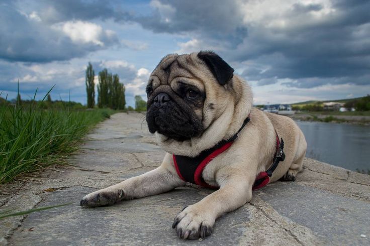 The moment you find out that you have to cancel all your summer holiday plans 😡😤 #mauricethepug #holiday #summerholiday #summer #disappointed #disappointedpug #angry #ilovethesummer #cancel #puglife #pugchat #pug #mops #dog #puglove #puppy