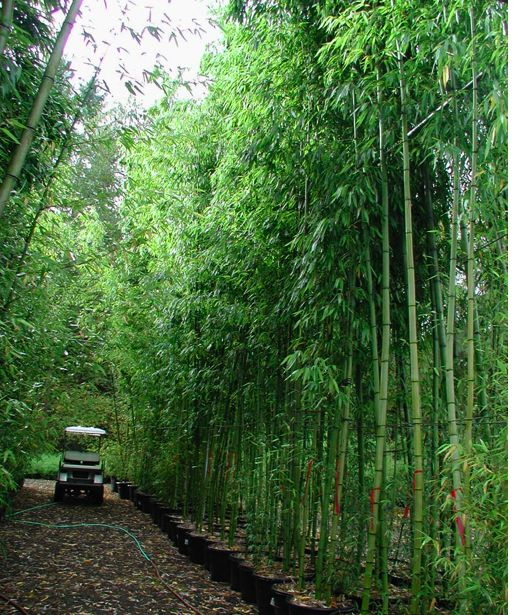 89 Best Images About Bamboo Oh So Love!!!! On Pinterest | Giant