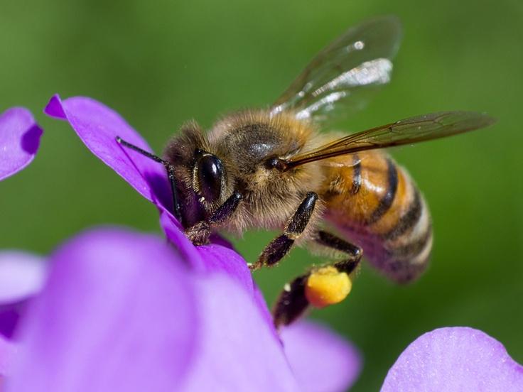 """500px / Photo """"Honeybee"""" by Ines Wohlgenannt  #honeybee #beekeeping"""