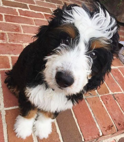 Bordoodle (Border Collie + Poodle) | 17 Border Collie Mixes That Will Put You In…