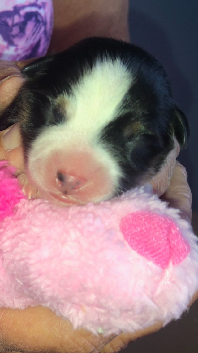 Available Puppies Kaleidoscope Toy And Miniature Natural Tailed