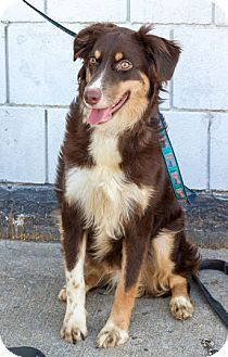 Border Collie Mix Puppy for adoption in Bronx, New York - Jack