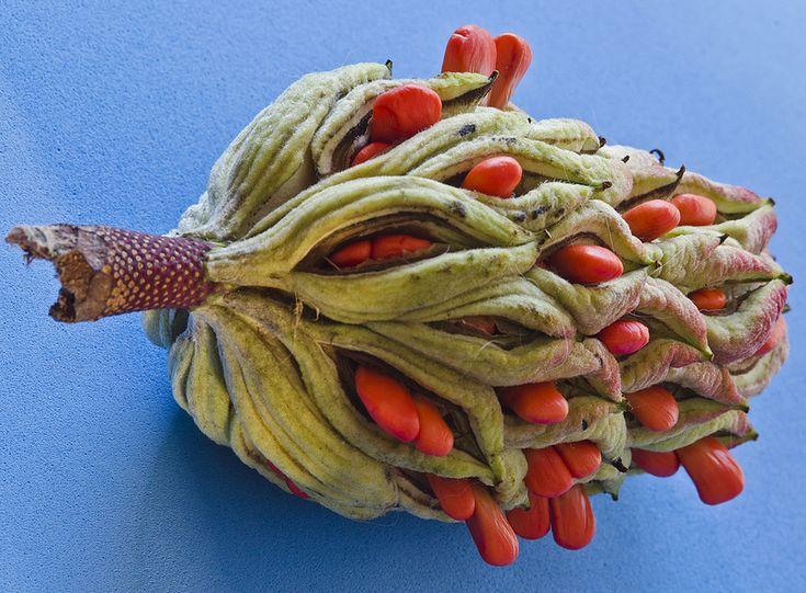 Magnolia Seed Pod http://www.pinterest.com/dijutal/seeds-and-their-pods/