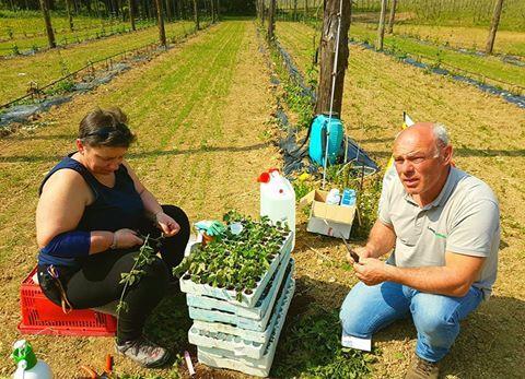 Società Agricola Elav  | Nuove talee nel luppolo