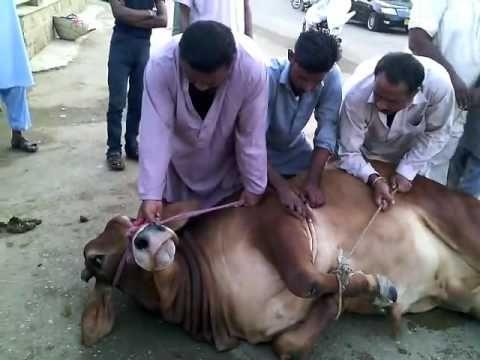 Cow Qurbani || Angry Cow || Eid Al Adha 2016