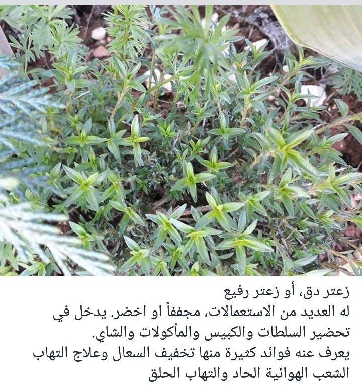 زعتر بري Plants Aic