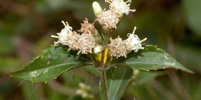 Kisebb pszichedelikus növények