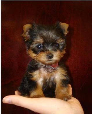 Teacup Yorkies!! This the pet that I have always wanted they are so cute and small!