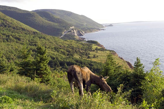Moose on the Cabot Trail