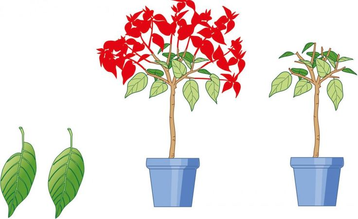 Alle blühfähigen Triebabschnitte tragen asymmetrische Blätter (linkes Blatt). Im Bereich der regelmäßig geformten Blätter werden keine Blüten angesetzt (rechtes Blatt). Schneiden Sie die Pflanzen deshalb möglichst nicht bis zu den symmetrischen Blättern zurück