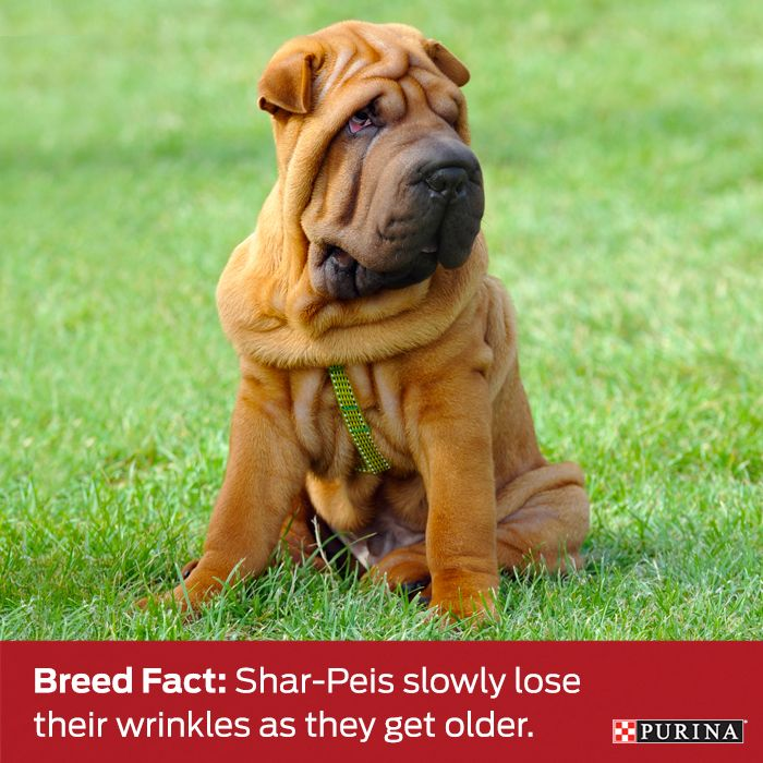 Talk about aging gracefully! Shar-peis make dog aging look good. Learn more about this dog breed at Purina.com!