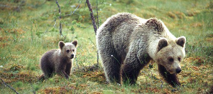 Bears in Kuusamo