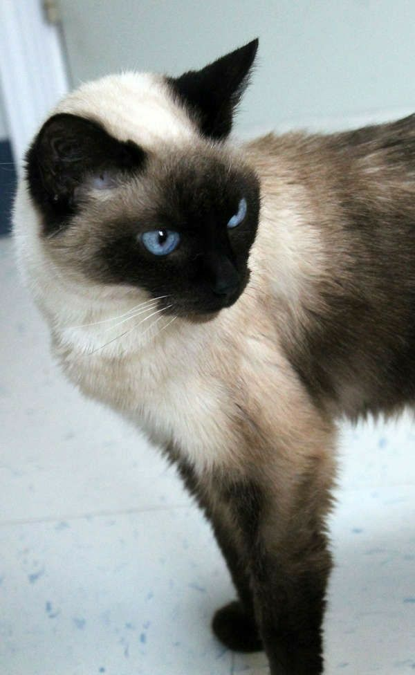 God Bless North Carolina Cats And Kittens Siamese Cats Beautiful Cats