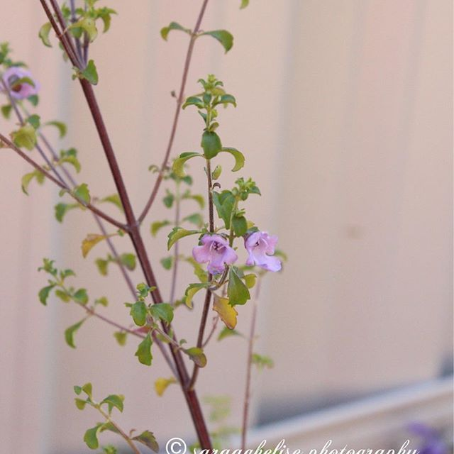 Stylidum Productum Trigger Plant with Tiny Pink/Purple flowers