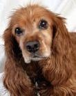 Available from Cocker Spaniel Rescue of Austin