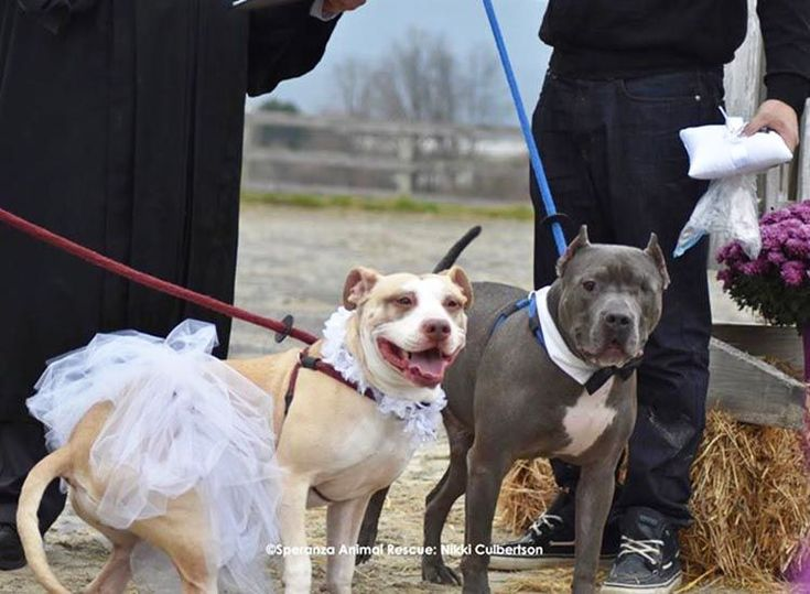 BODA DE PERROS PITBULL VIDEO. Estos son Zeus y Abbey, dos pitbulls maltratados y abandonados. Ahora ambos han sido adoptados por una familia maravillosa y es
