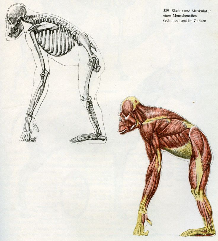 Erfreut Schimpansen Anatomie Fortpflanzungs Fotos - Anatomie Von ...