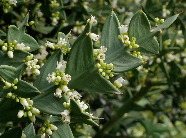 Colletia paradoxa - Anchor Plant Tropical Trees and Shrubs Pinter ...