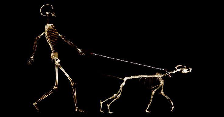 O sistema esquelético dos mamíferos. Por definição, os mamíferos são vertebrados, o que significa que todos eles têm uma estrutura interna que suporta o corpo. Esta estrutura é caracteristicamente composta por mais de 200 ossos e suporta músculos e ligamentos. Embora o número de ossos varie sutilmente entre os mamíferos, a estrutura de posicionamento segue um padrão básico.
